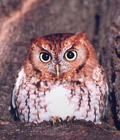 screech Owl by Bill Waller.